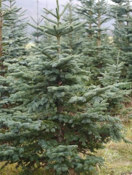 Weihnachtsbaum liefern bonn